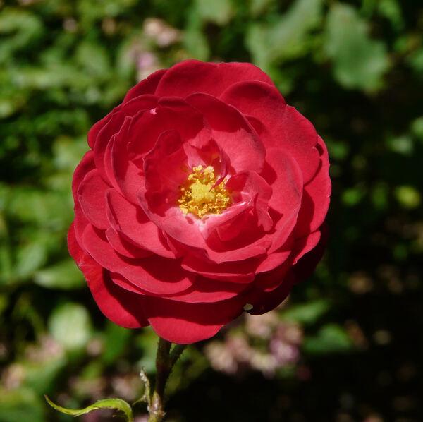 Rosa 'Eutin'