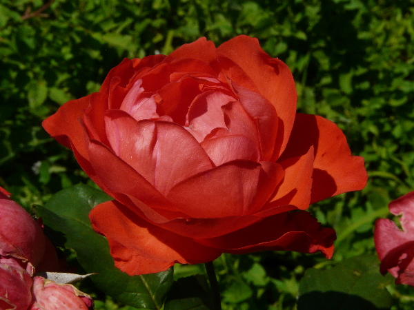 Rosa 'Scarlet Queen Elizabeth ®'