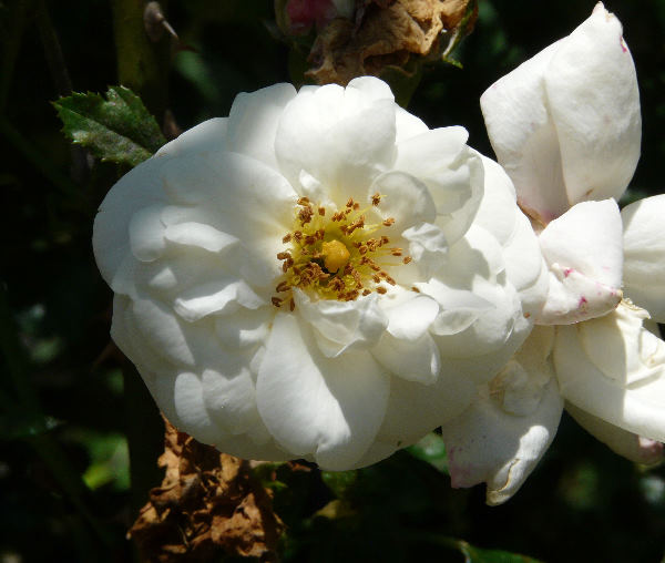 Rosa 'White New Dawn'