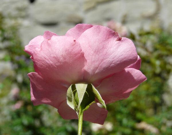 Rosa 'Cyclamen la Sevillana ®'