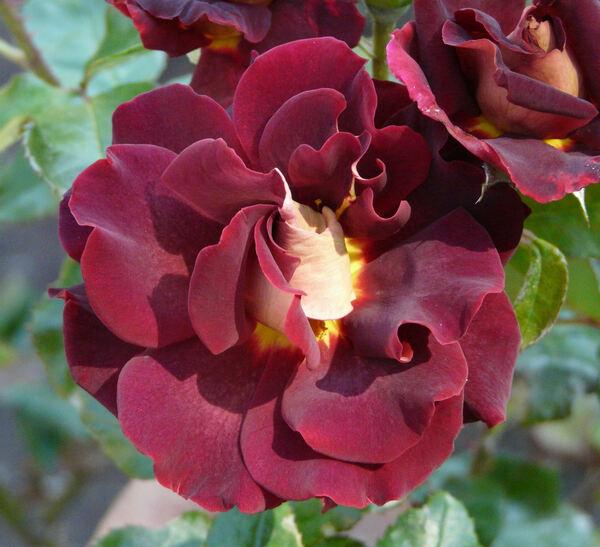 Rosa 'Black Gold ®'