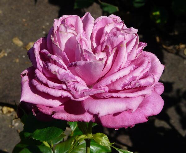 Rosa 'Senteur Royale ®'