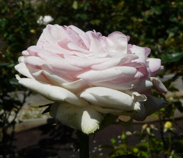 Rosa 'Biedermeier Garden ®'