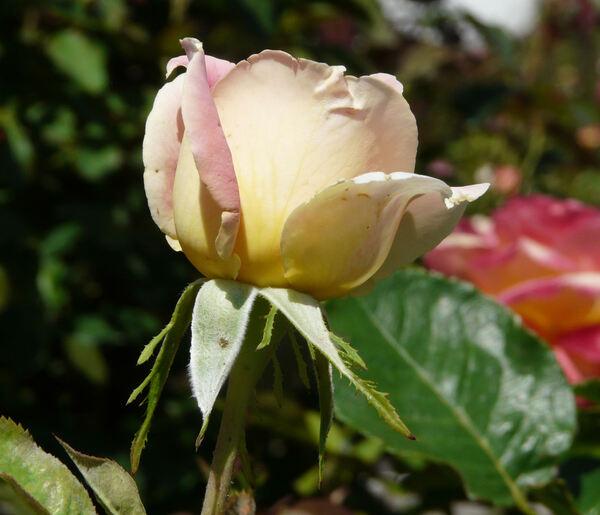 Rosa 'Evelyne Dheliat ®'