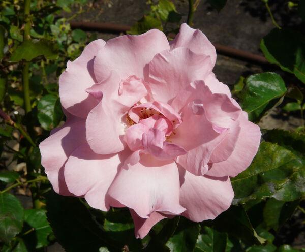 Rosa 'Queen Elizabeth ®'