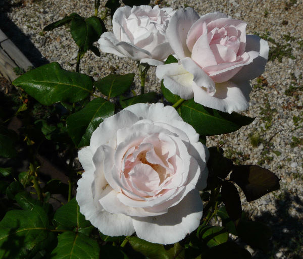 Rosa 'Madame Consuelo Brignone ®'