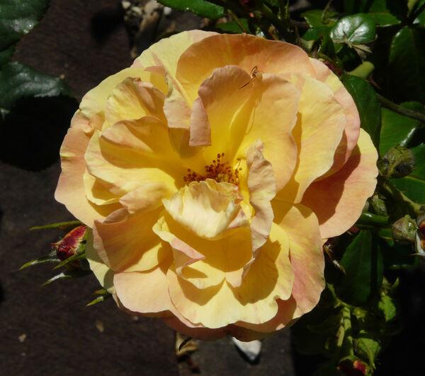 Rosa 'Fiji ®'