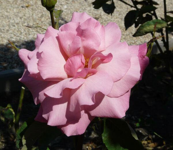 Rosa 'Prima Ballerina ®'