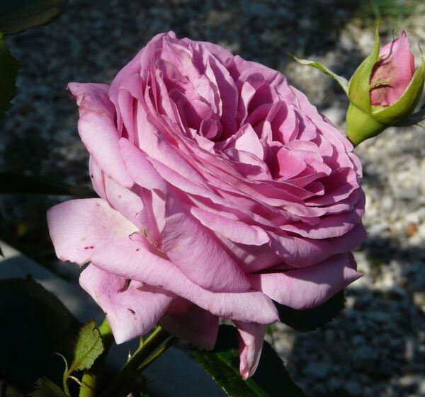 Rosa 'Bernadette Lafont ®'
