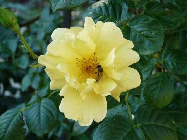 Rosa 'Gardeners Glory ®'