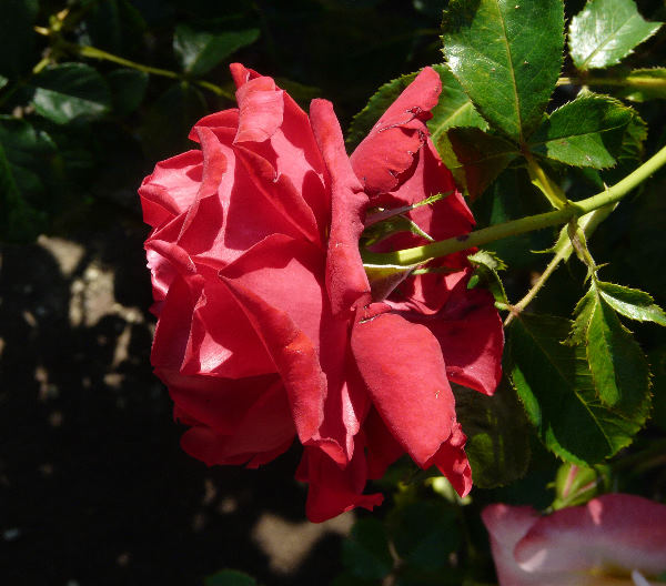 Rosa 'Carris ®'
