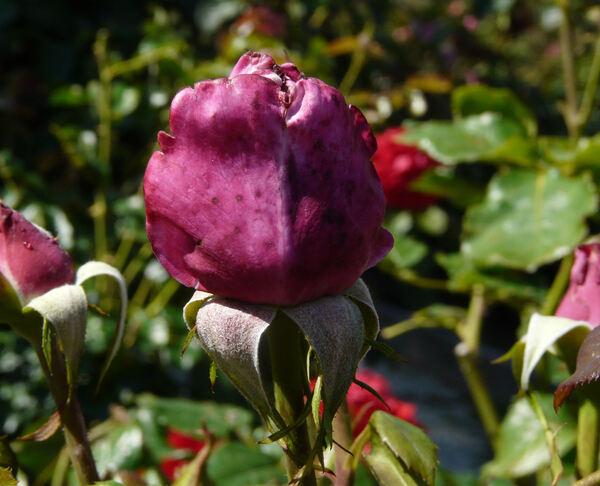 Rosa 'Misty Blue ®'