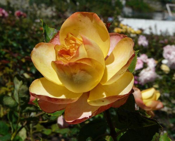 Rosa 'Broccato ®'
