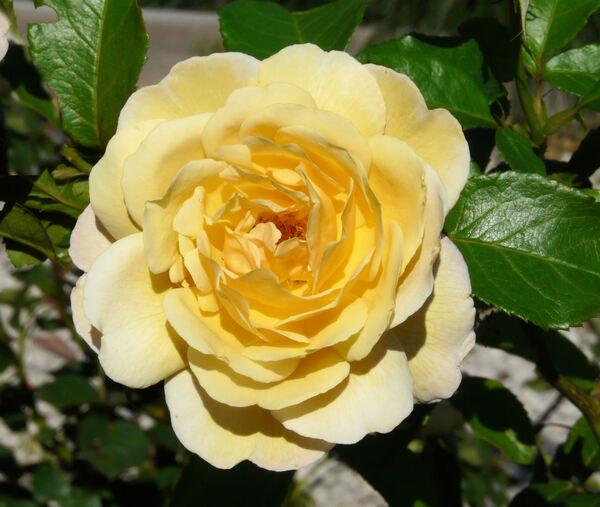 Rosa 'Soleil Vertical ®'