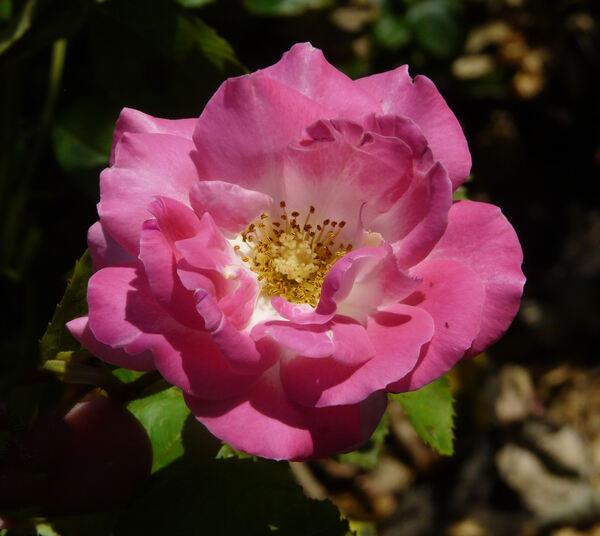 Rosa 'Primo Bacio ®'