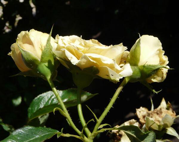 Rosa 'Victoria Pendleton'