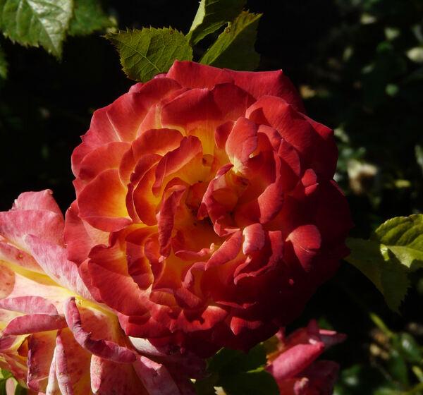 Rosa 'Gartenspaß ®'