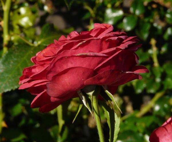 Rosa 'Out of Rosenheim ®'