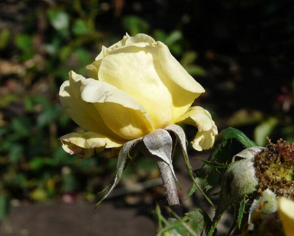 Rosa 'Spotlight'
