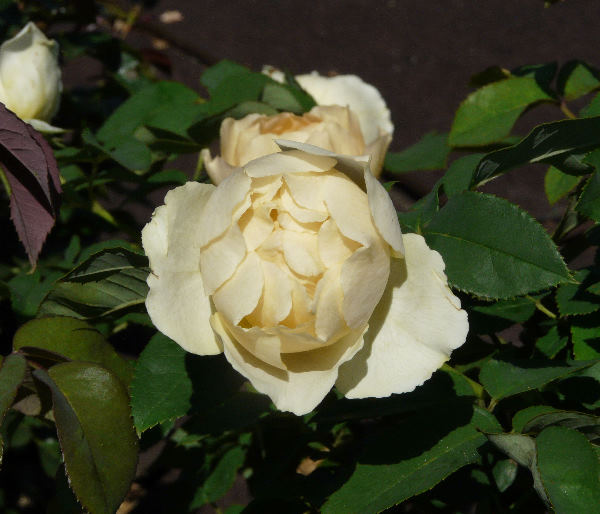 Rosa 'Paolo Pejrone Giardiniere ®'