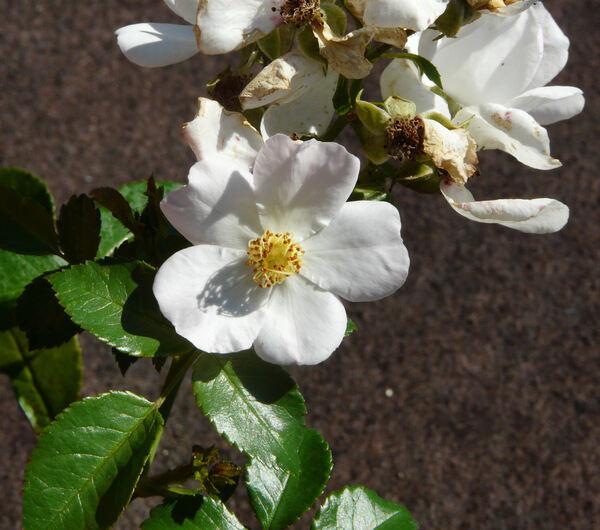 Rosa 'Maid of Honour ®'