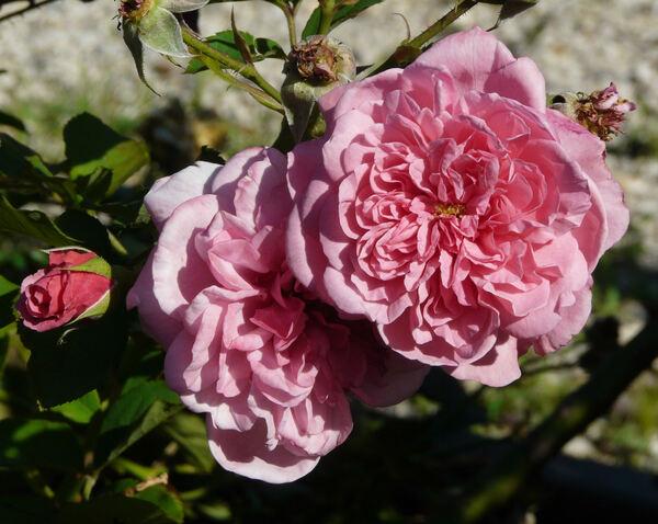 Rosa 'Free Spirit'