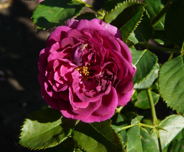 Rosa 'Purple Eden ®'