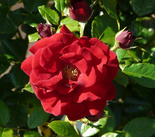 Rosa 'Red Pearl ®'