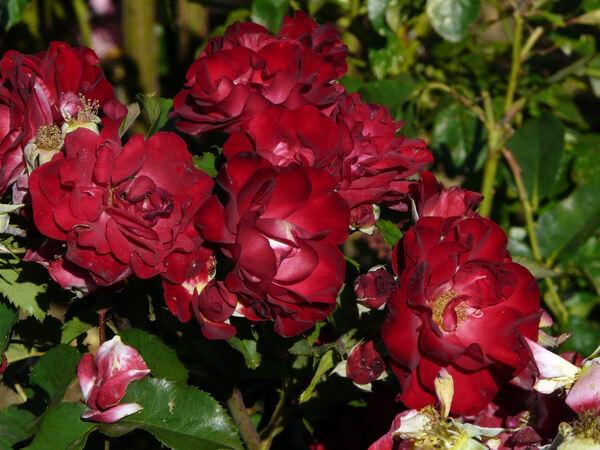 Rosa 'Red Spot ®'