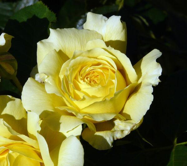 Rosa 'China Girl'