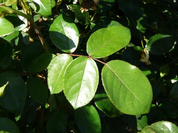 Rosa 'Sunstar ®'