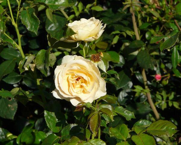 Rosa 'Susan Daniel'