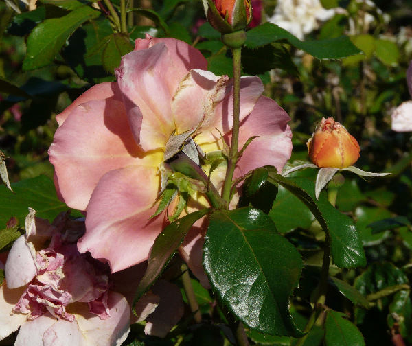 Rosa 'Sweet Fragrance'