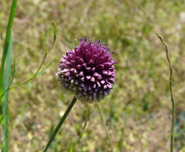 Allium sphaerocephalon L. subsp. sphaerocephalon