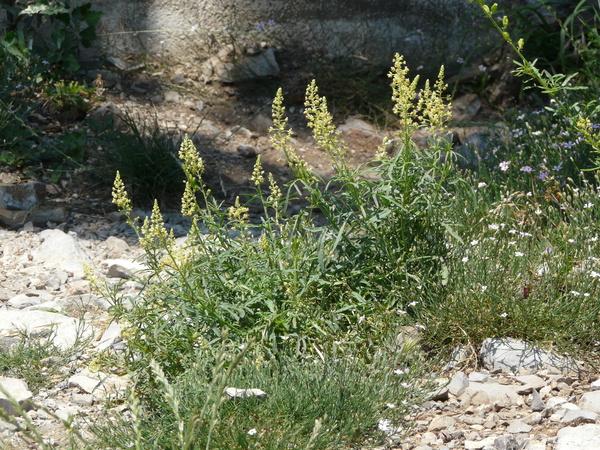 Reseda lutea L. subsp. lutea