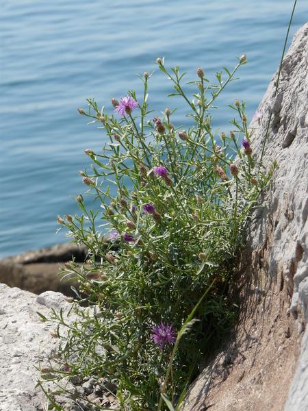 Centaurea kartschiana Scop. subsp. kartschiana