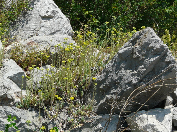 Petrosedum thartii (L.P.Hébert) Niederle