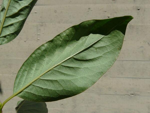 Diospyros lotus L.