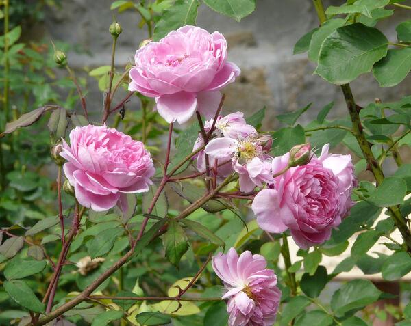 Rosa 'Alan Titchmarsh'