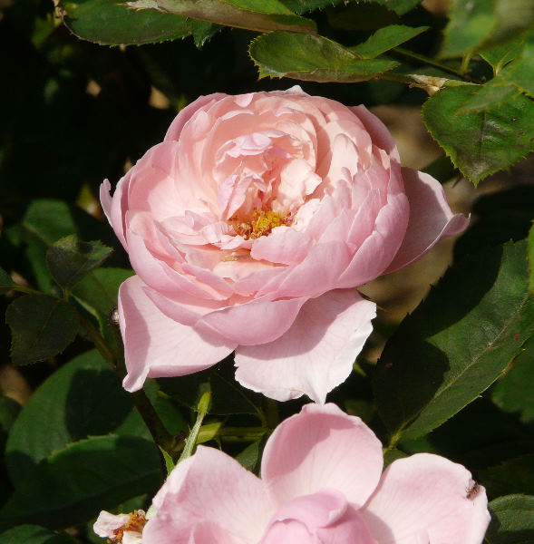 Rosa 'The Alnwick Rose ®'