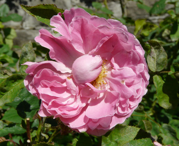 Rosa 'Winchester Cathedral ®'
