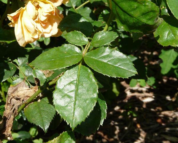 Rosa 'Ambra Rosata'