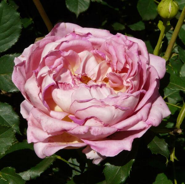 Rosa 'Jubilee Celebration'