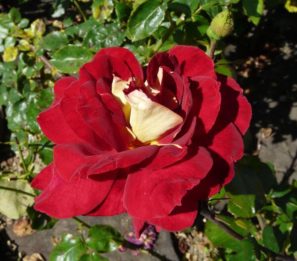 Rosa 'Yakimour'