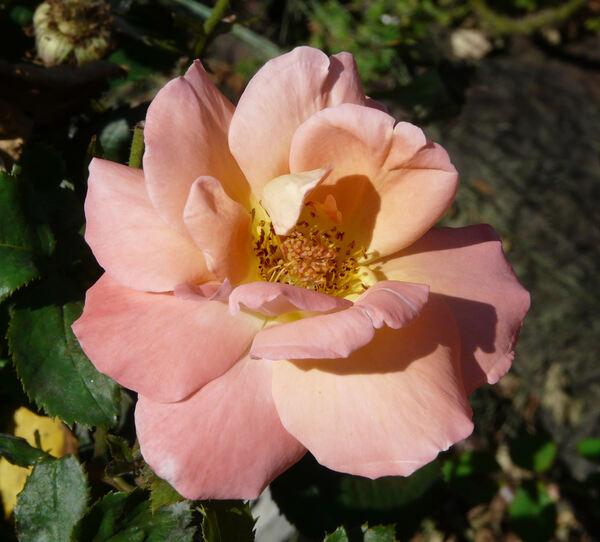 Rosa 'Reigen'