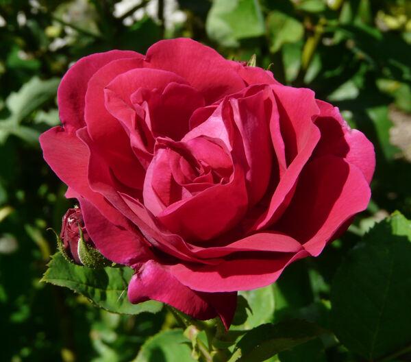 Rosa 'Comtesse d'Oxford'