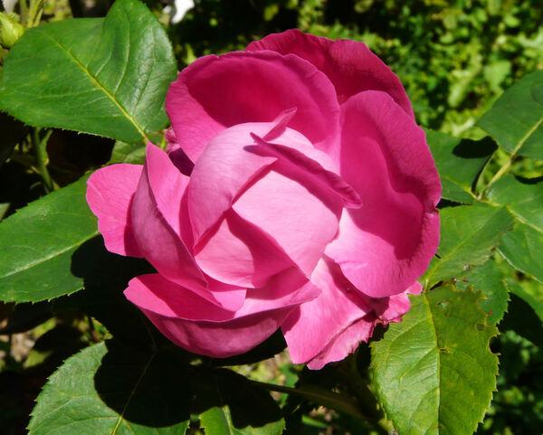 Rosa 'American Beauty'