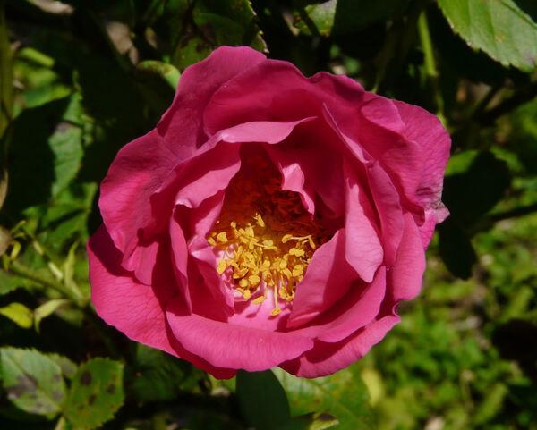 Rosa 'Ulrich Brunner'