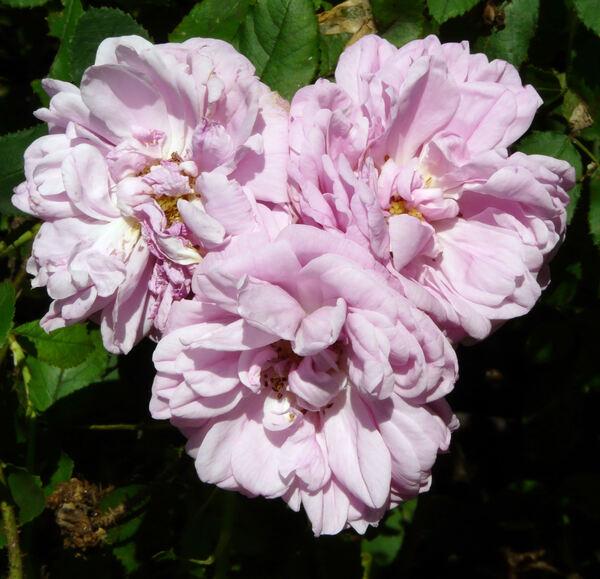 Rosa 'Salet'