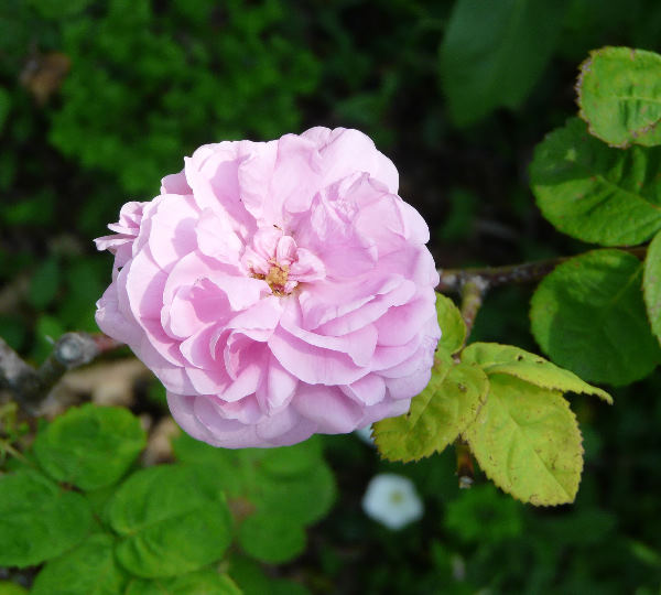 Rosa 'Centifolia Bullata'